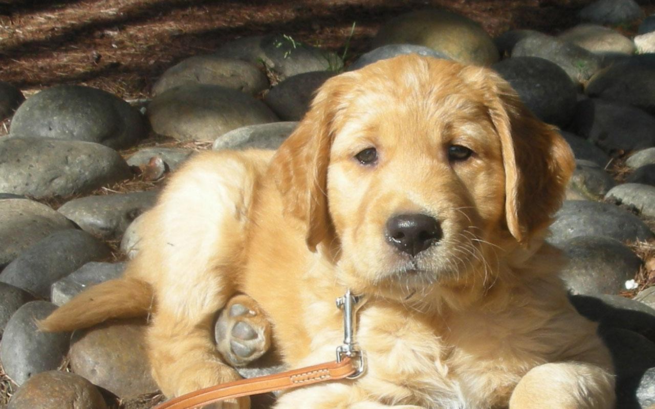 Best Pet Golden Retriever Puppy At Beach 1280x800 Wallpaper 3